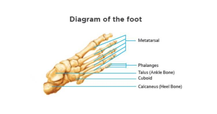 Diagram-of-the-foot
